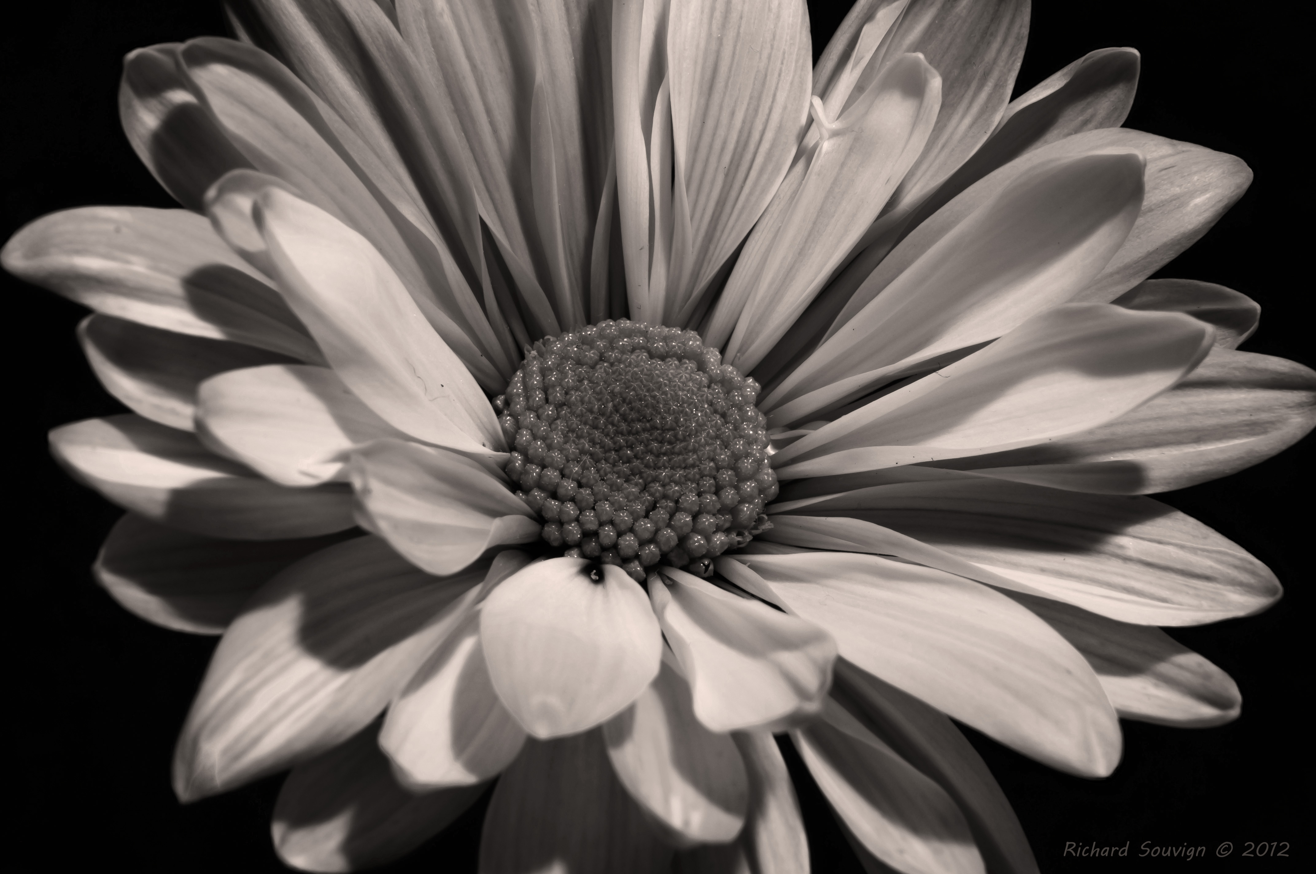 Black And White Photography Of Flowers With Color Free Images
