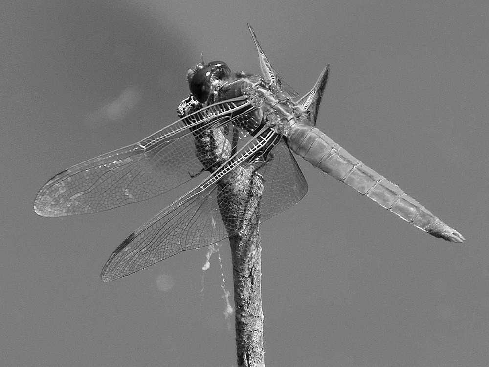 Post Your Black and Whites Photos!!-dragonflybw.jpg