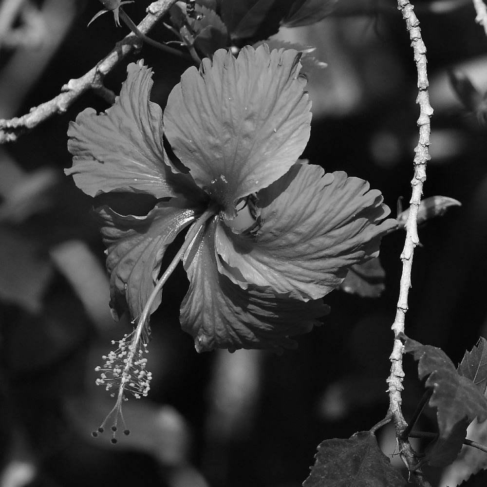 Post Your Black and Whites Photos!!-hibiscusbw.jpg