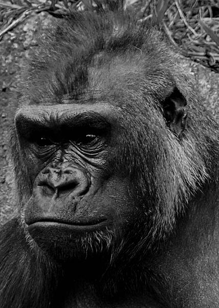 Post Your Black and Whites Photos!!-gorilla-1.jpg