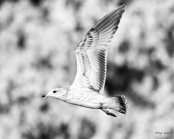 Post Your Black and Whites Photos!!-gull-213.jpg
