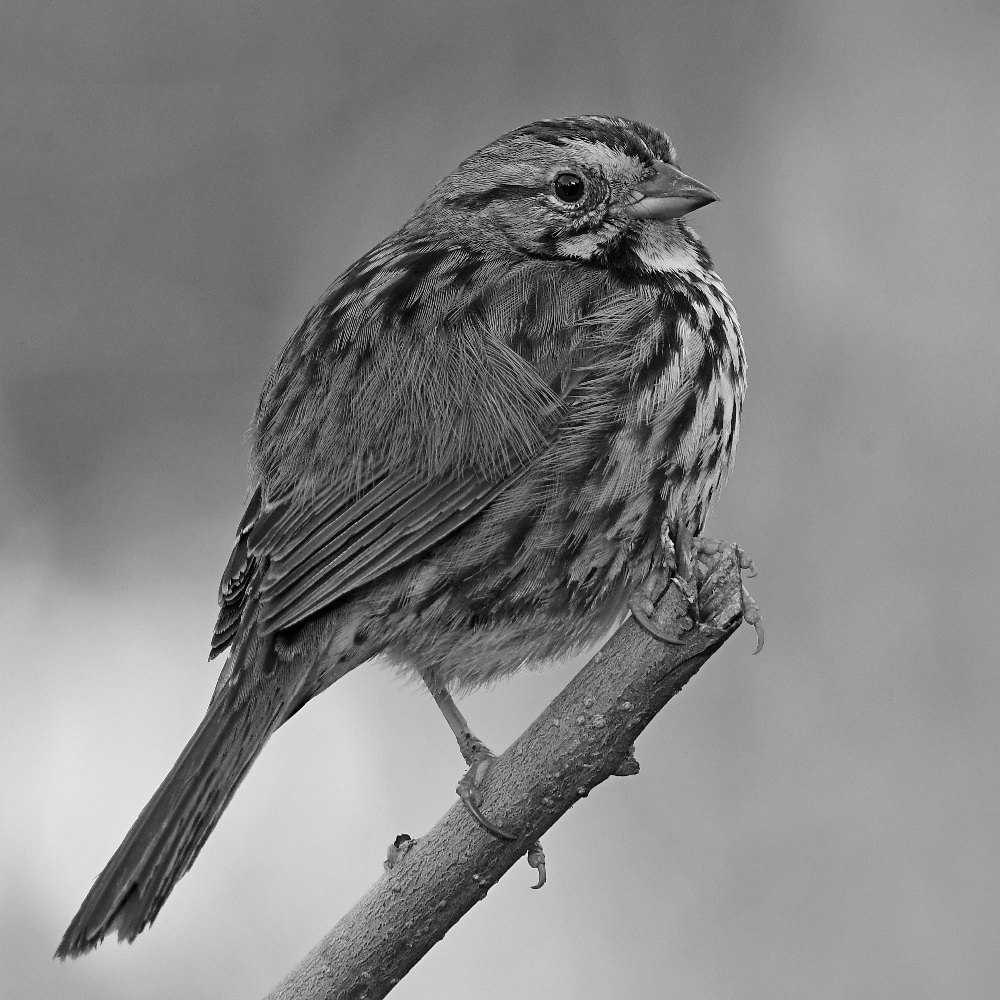 Post Your Black and Whites Photos!!-sparrowbw.jpg