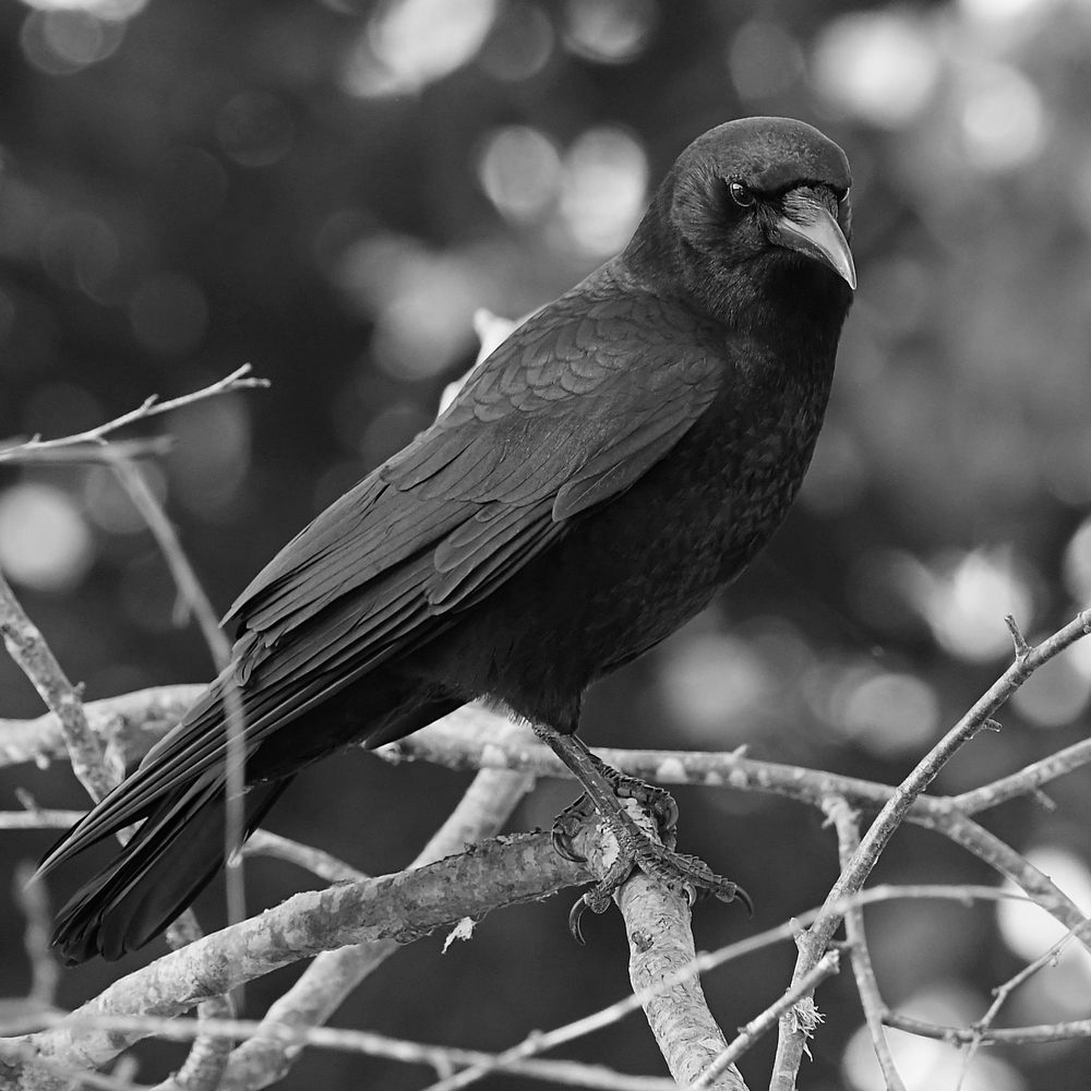Post Your Black and Whites Photos!!-crowbw.jpg