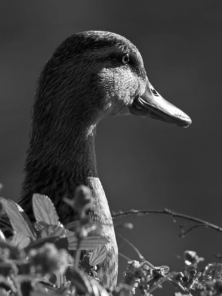 Post Your Black and Whites Photos!!-duckbw.jpg