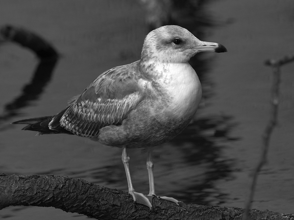 Post Your Black and Whites Photos!!-gullbw.jpg