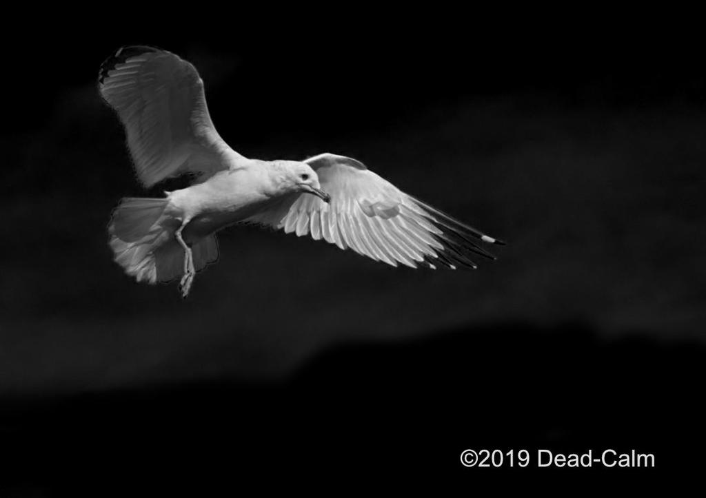 Post Your Black and Whites Photos!!-seagull-n-500_9236.jpg