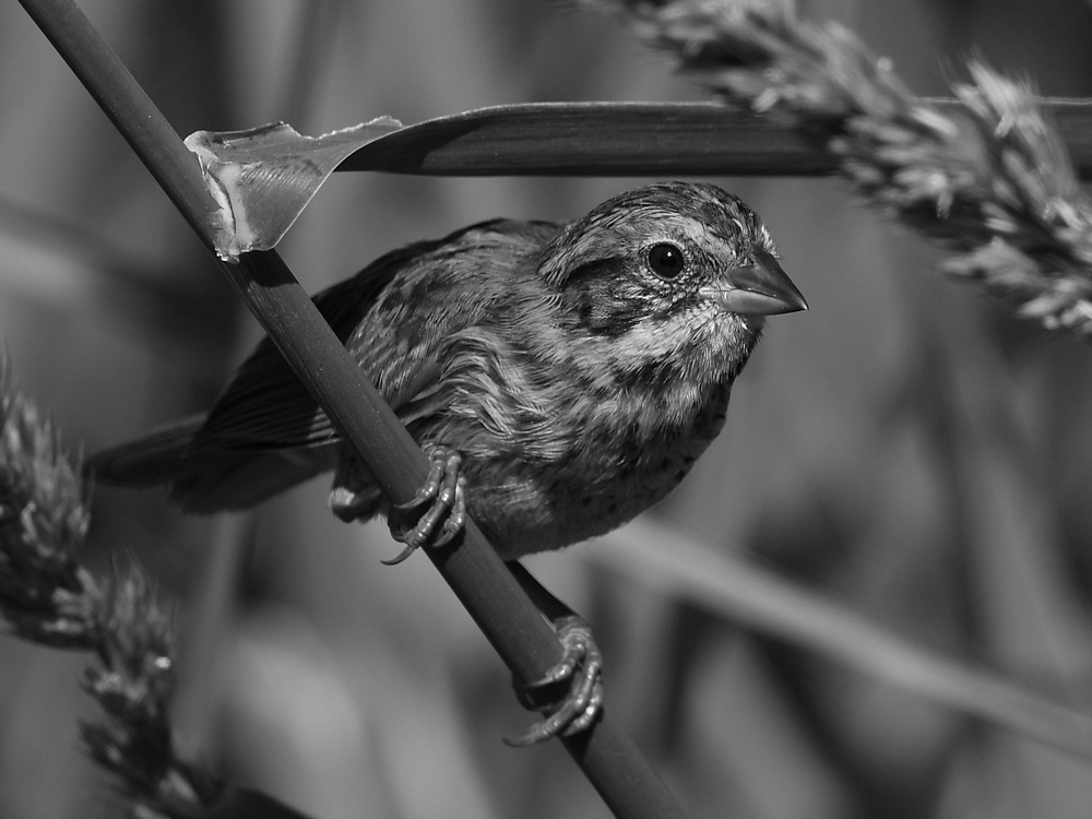 Post Your Black and Whites Photos!!-sparrowbw2.jpg