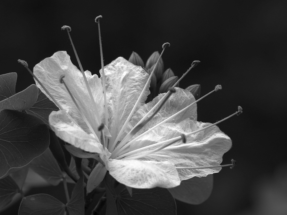 Post Your Black and Whites Photos!!-ginkobw2.jpg