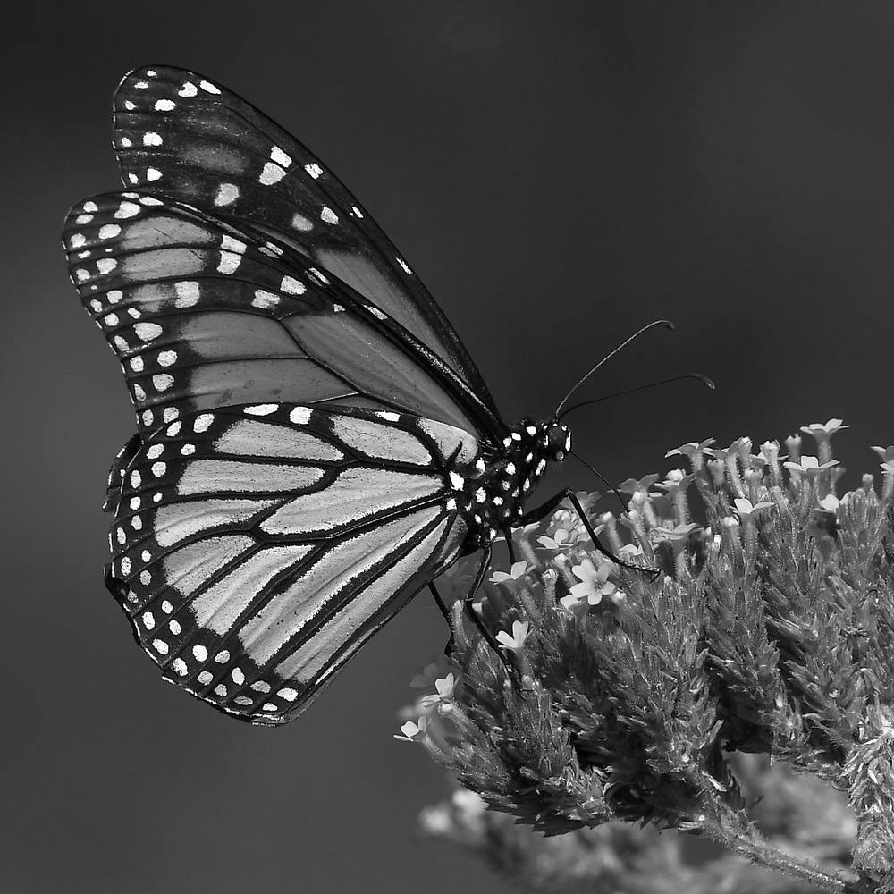 Post Your Black and Whites Photos!!-monarchbw2.jpg