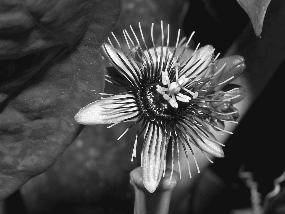 Post Your Black and Whites Photos!!-passiflorabw.jpg