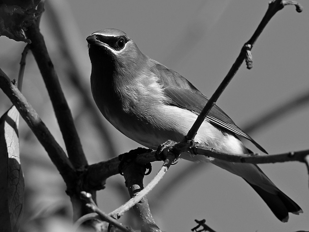 Post Your Black and Whites Photos!!-waxwingbw.jpg