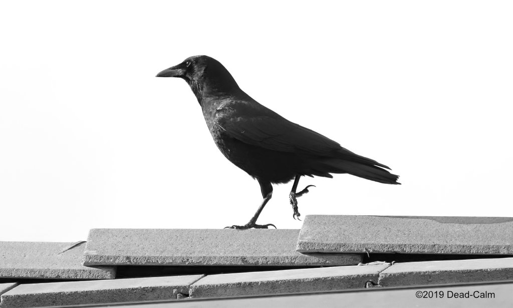 Post Your Black and Whites Photos!!-crow-roof-n-500_0292.jpg