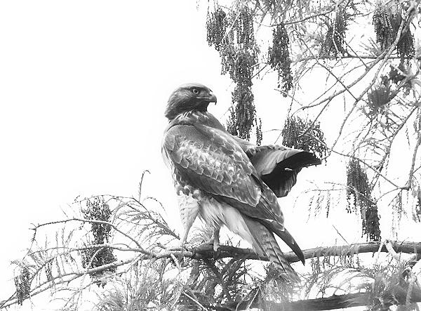 Post Your Black and Whites Photos!!-hawk-bw-n-500_0662.jpg