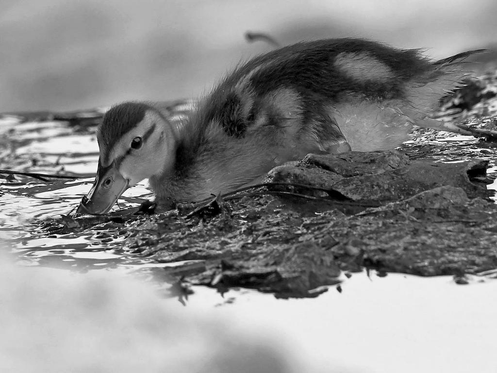 Post Your Black and Whites Photos!!-ducklingbw.jpg