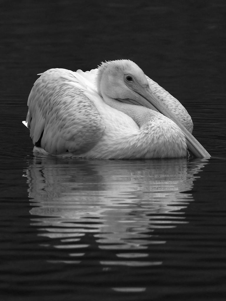 Post Your Black and Whites Photos!!-pelicanbw.jpg