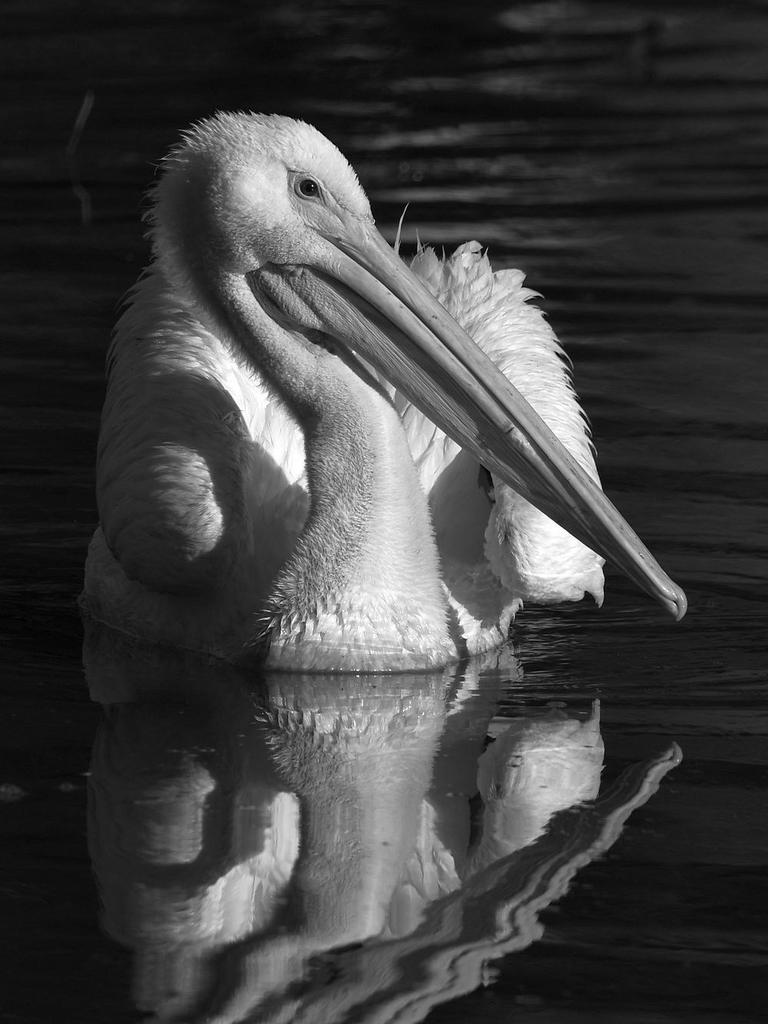 Post Your Black and Whites Photos!!-pelicanbw2.jpg