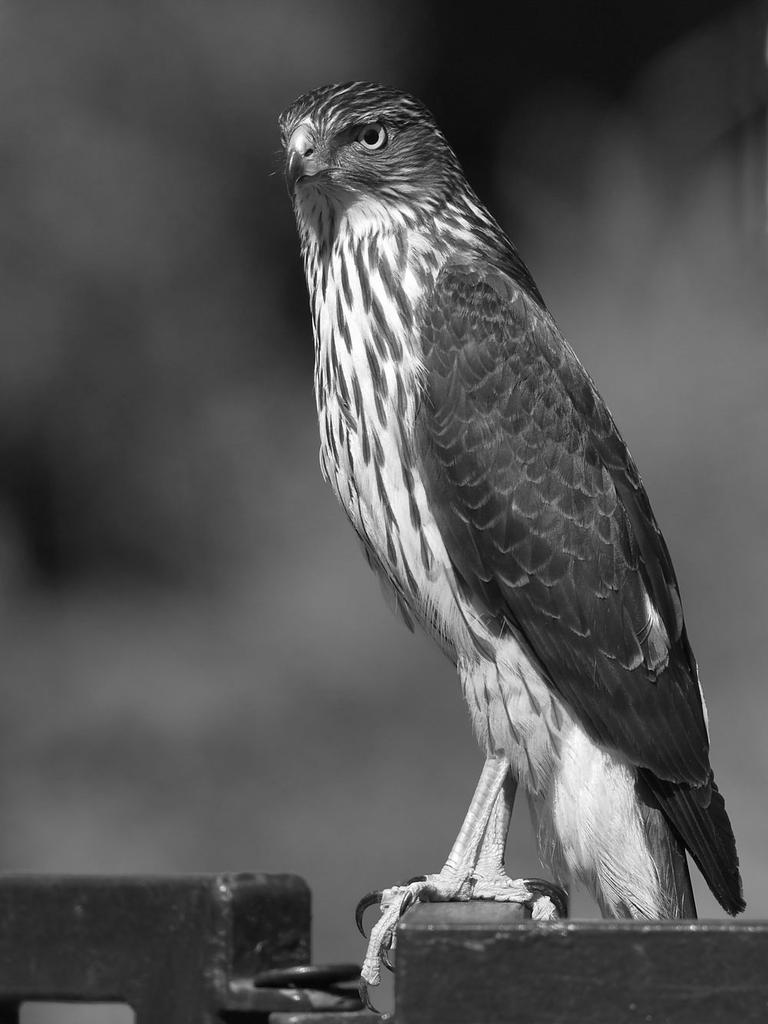 Post Your Black and Whites Photos!!-hawkbw2.jpg