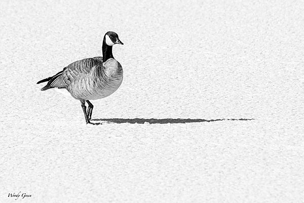 Post Your Black and Whites Photos!!-bwgoose-776.jpg