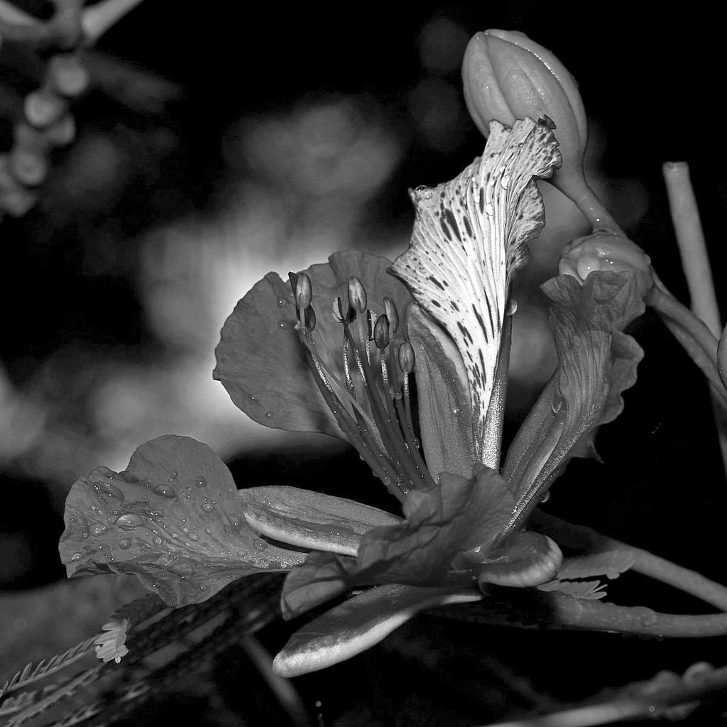 Post Your Black and Whites Photos!!-orchidtreebw.jpg