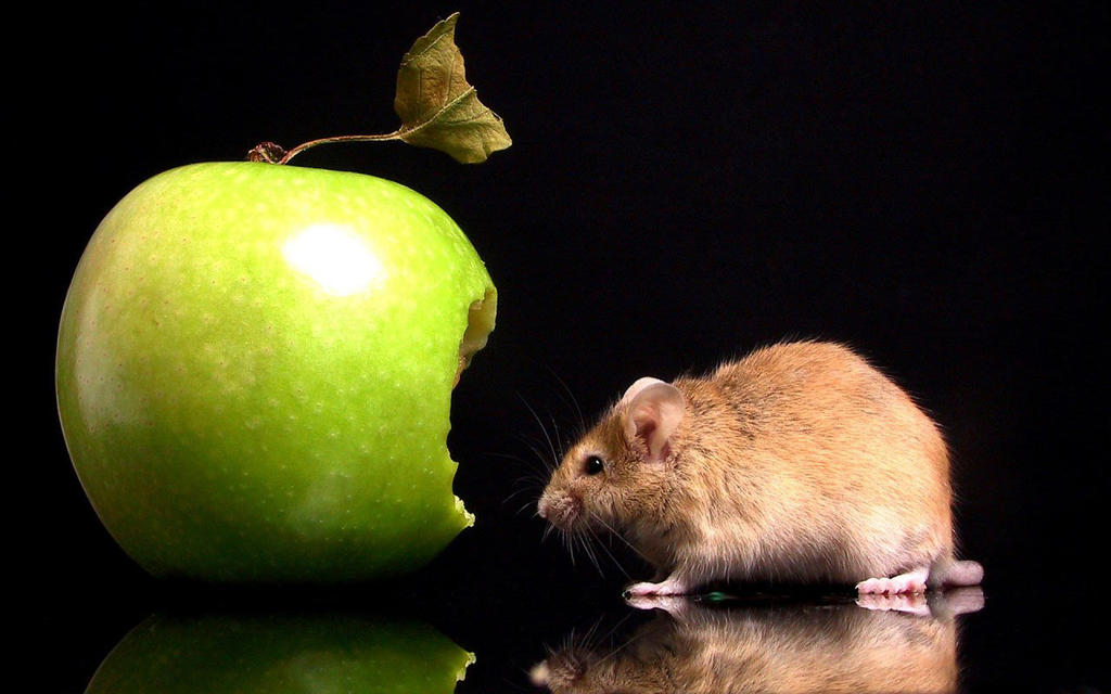 Apple Mice-8589130521905-funny-mouse-apple-animal-wallpaper-hd.jpg