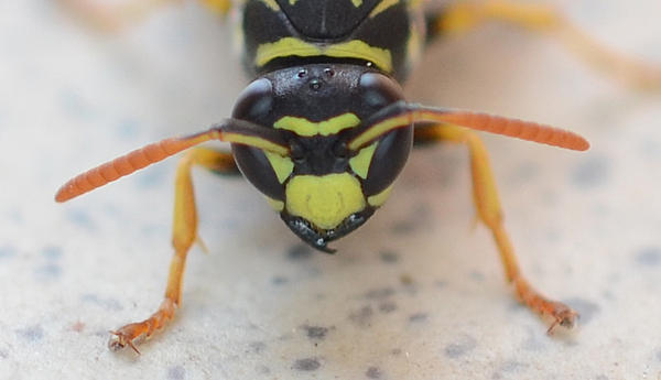 Insect photos with the D3100-wasp-head.jpg