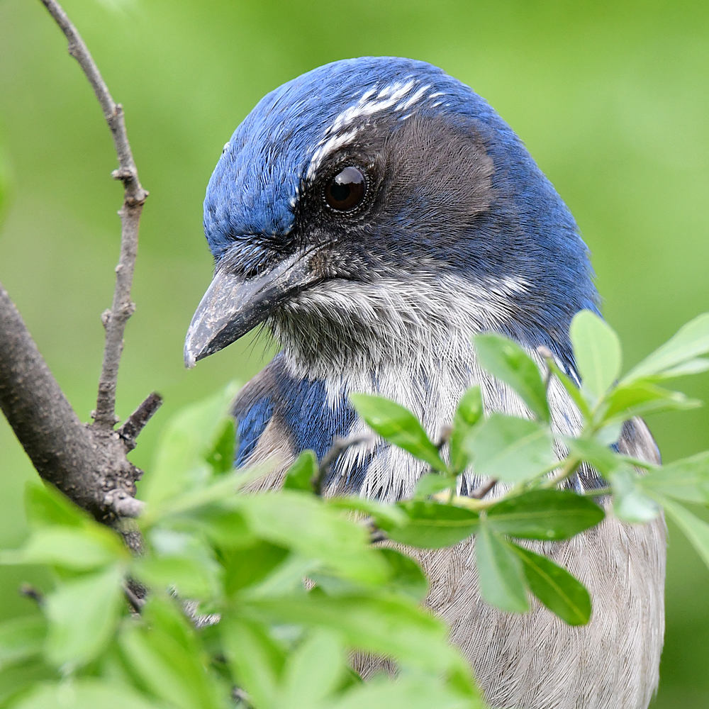 Post Your D500 Shots-scrubjay16.jpg