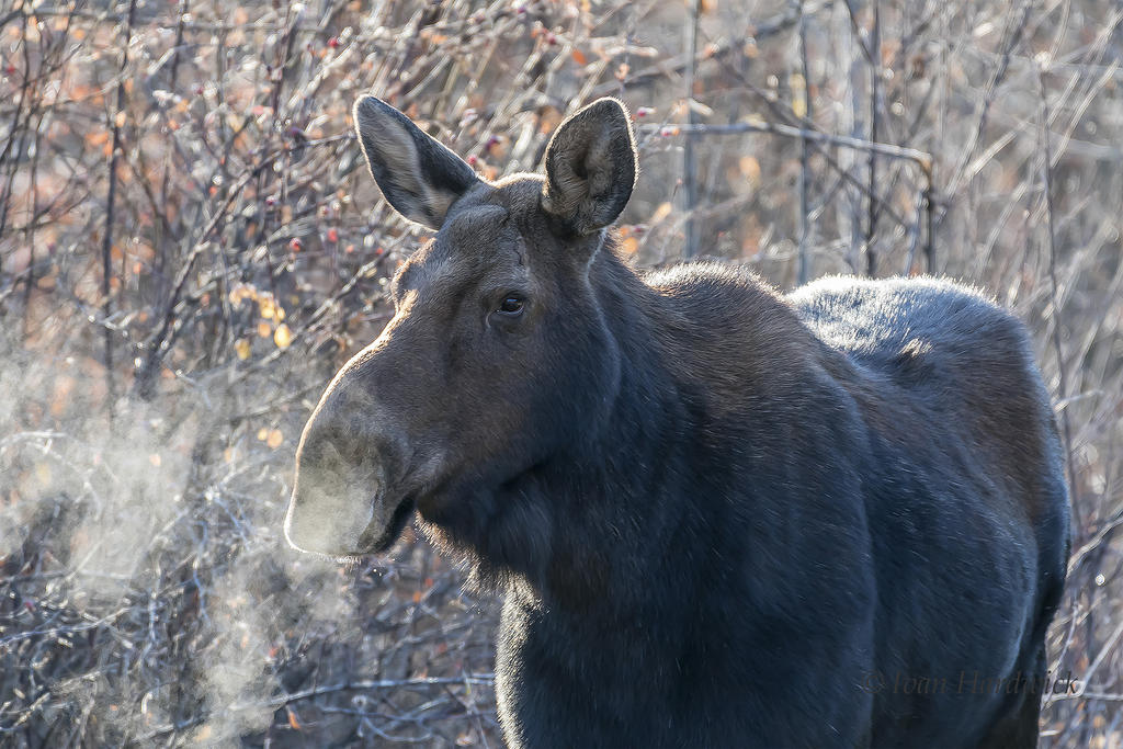 Post Your D500 Shots-moose-1.jpg