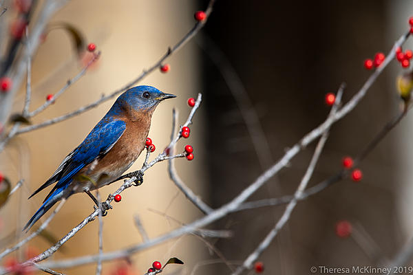 Post Your D500 Shots-tlm-eastern-bluebird-466.jpg