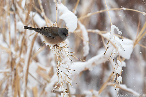 Post Your D500 Shots-bosquedelapache-dark-eyed-junco-pink-sided-628.jpg