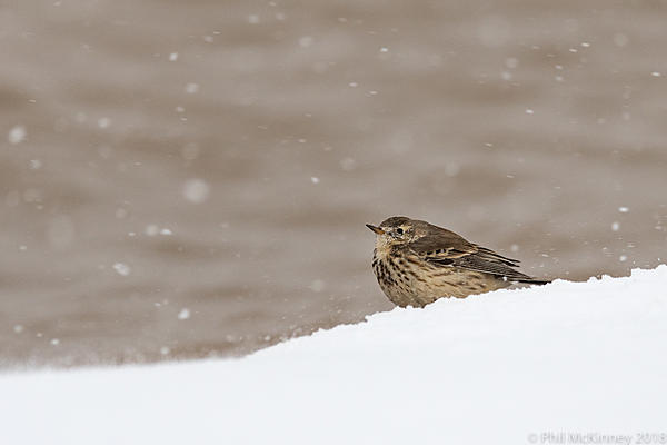 Post Your D500 Shots-bosquedelapache-american-pipit-309.jpg