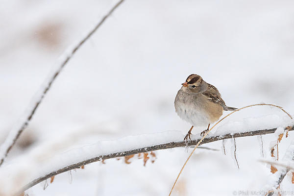 Post Your D500 Shots-bosquedelapache-white-crowned-sparrow-465.jpg