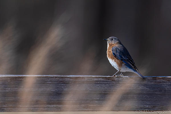 Post Your D500 Shots-pdm-eastern-bluebird-066.jpg