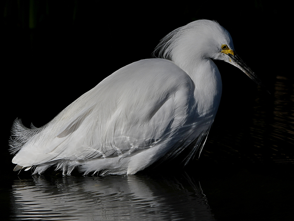 Post Your D500 Shots-egret5.jpg