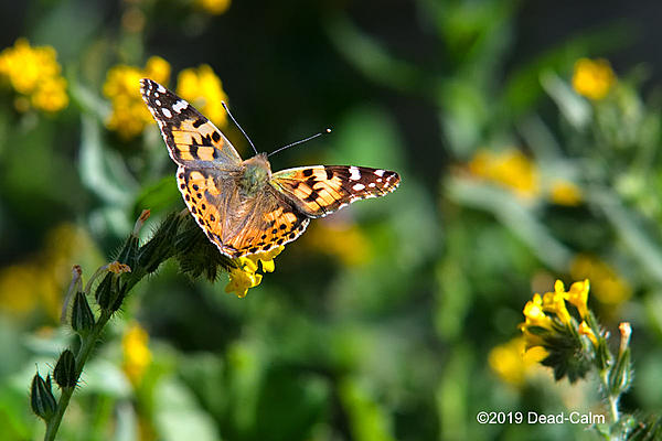 Post Your D500 Shots-painted-lady-n-500_8985.jpg