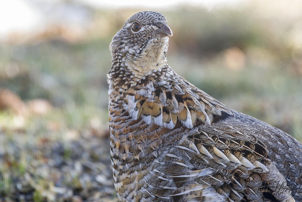 Post Your D500 Shots-ruffed-grouse-02.jpg
