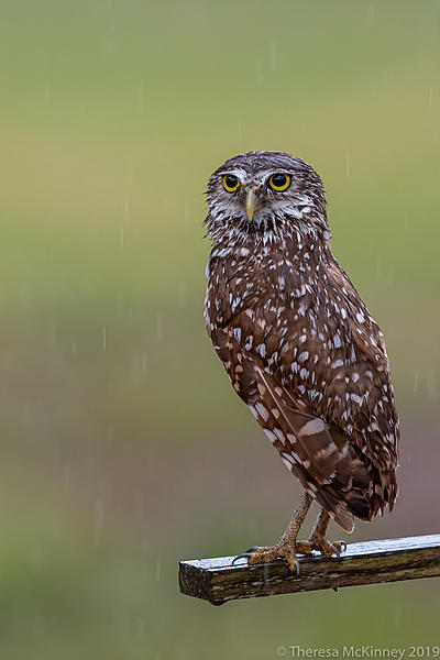 Post Your D500 Shots-20190404tlm-day2-wet-burrowing-owl-2717.jpg