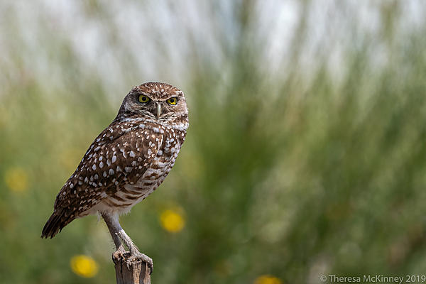 Post Your D500 Shots-20190408tlm-day6-burrowing-owl-763.jpg