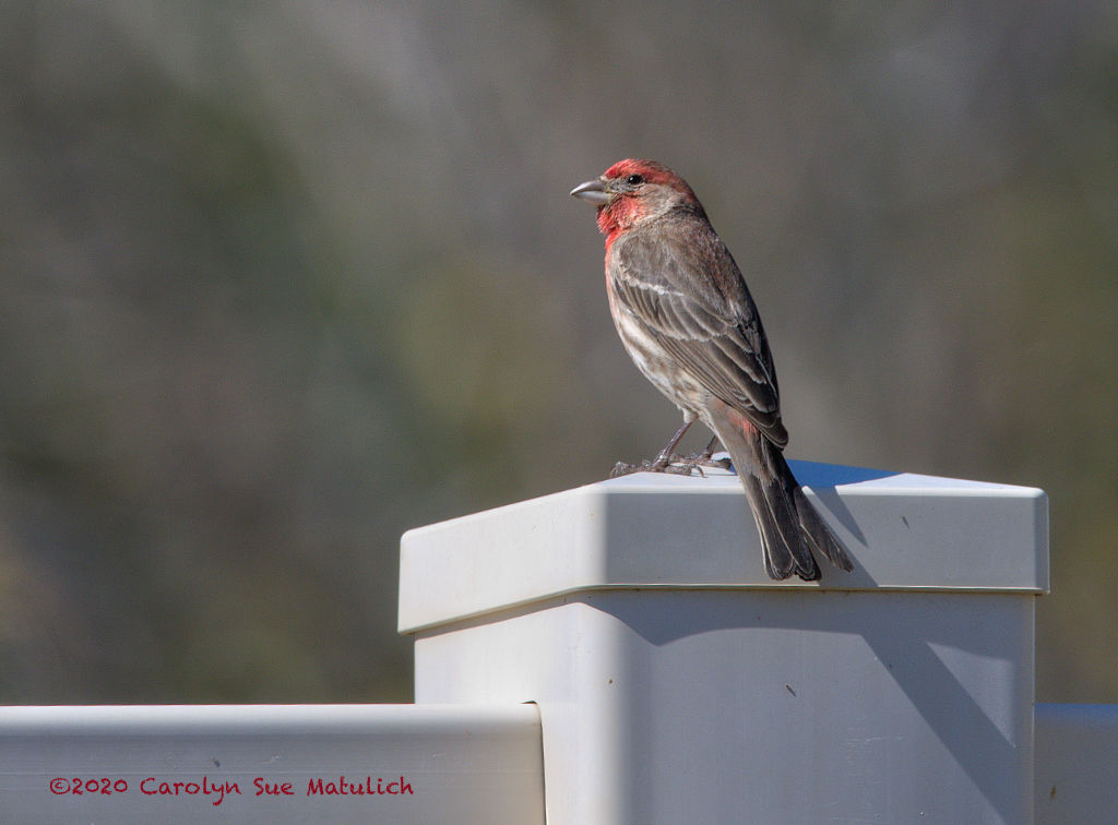 Post Your D500 Shots-house-finch-n-mr-500_1916.jpg