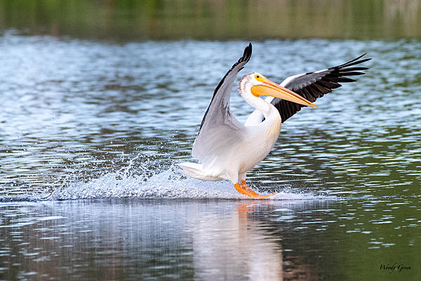 Post Your D500 Shots-pelicanlanding-552.jpg