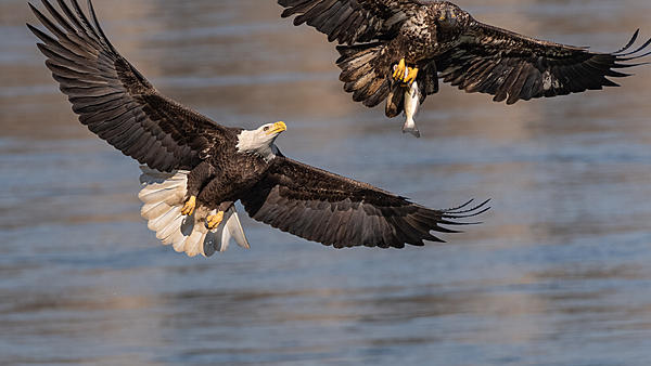 Post Your D500 Shots-bald-eagles-background.jpg