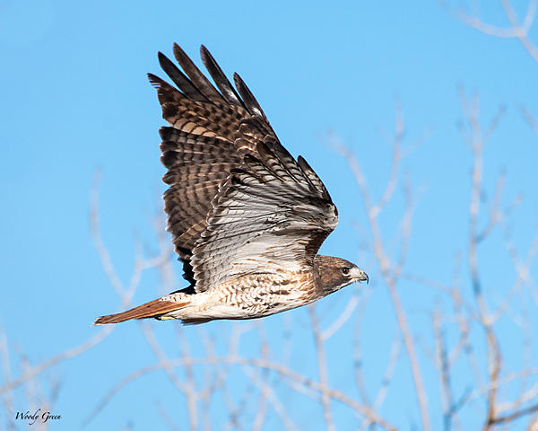 Post Your D500 Shots-redtail-691.jpg