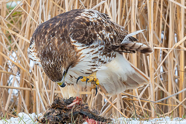 Red-tailed hawk and Muskrat-_dsc5360.jpg