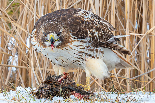Red-tailed hawk and Muskrat-_dsc5365.jpg