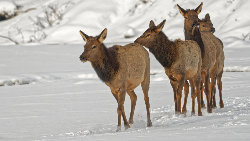 Post Your D500 Shots-elk-4.jpg