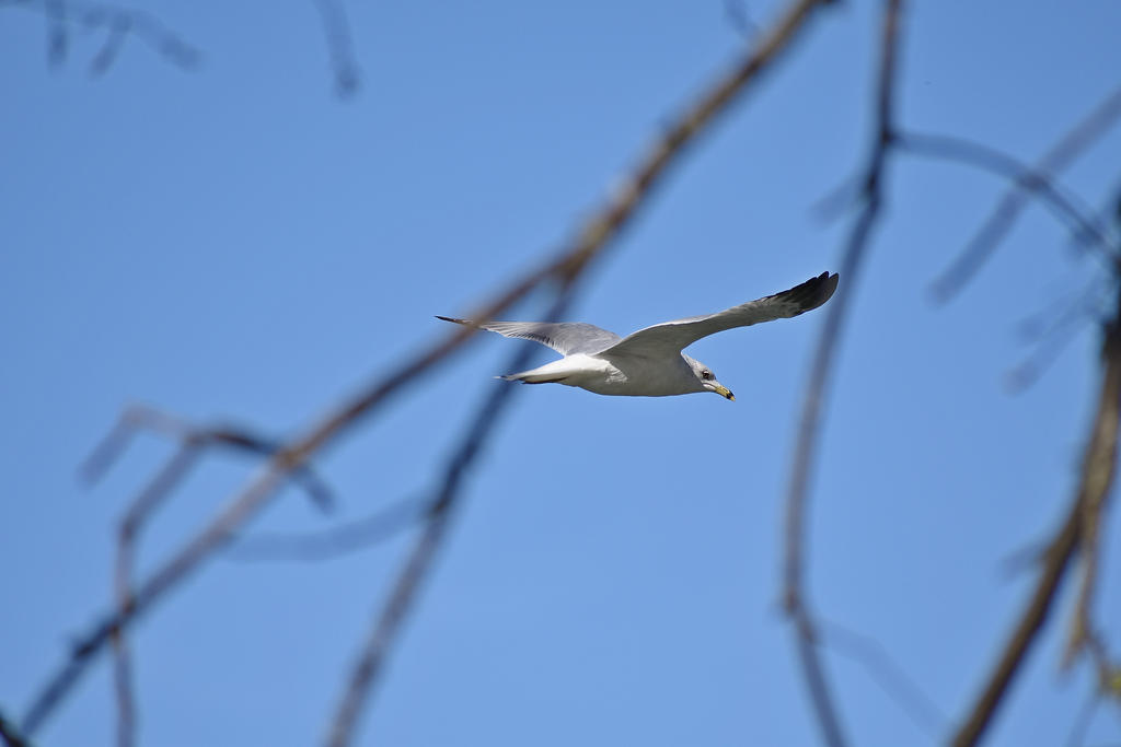 Post Your D7500 Photos-ring-billed-gull_00009.jpg