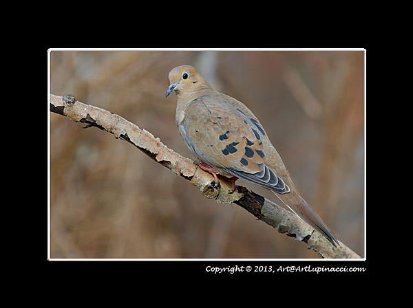 My Favourite D800 Images-dove.jpg