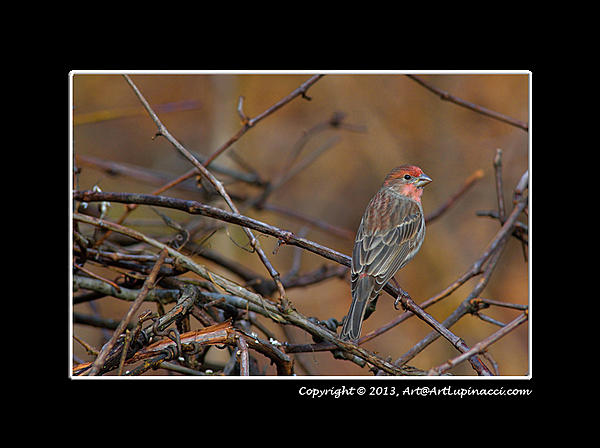 My Favourite D800 Images-common-redpoll-male.jpg