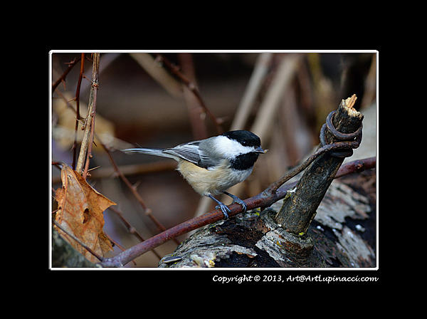 My Favourite D800 Images-bc-chickadee2.jpg