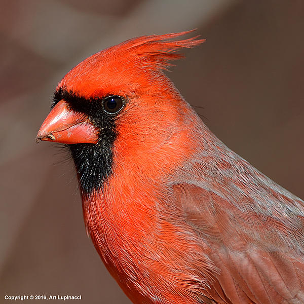 My Favourite D800 Images-male-cardinal.jpg