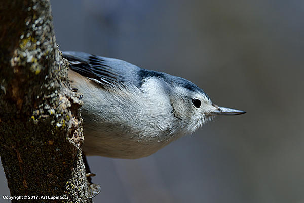My Favourite D800 Images-nuthatch_01.jpg